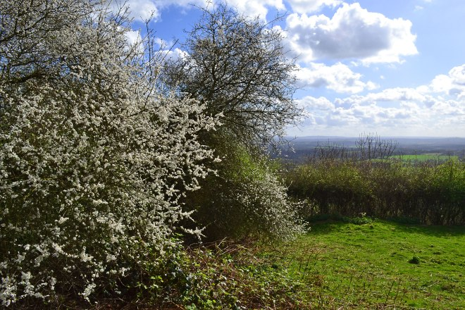 Blackthorn blossom on One Tree Hill, Sevenoaks, Kent