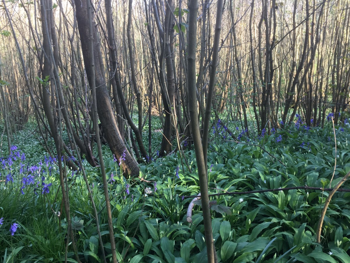 Wild garlic 'jungle' near Ightam Mote