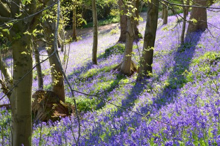 Bluebells, Emmetts/Scords wood, 2017