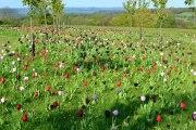 Emmetts black, red, white tulips 2017