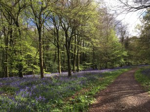 bluebells-meenfield-woods-shoreham-kent
