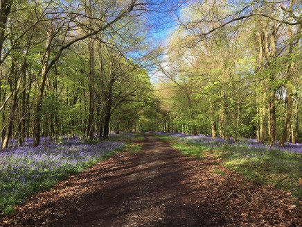 bluebells-meenfield-woods-shoreham-kent2