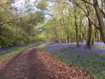Meenfield Woods bluebells, above Shoreham