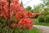 Azaleas Emmetts Garden Ide Hill