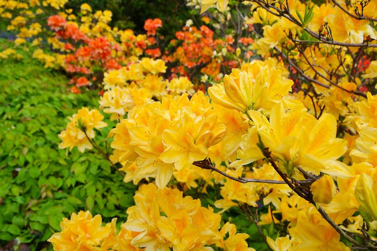 Yellow azaleas, Emmetts Garden, Ide Hill. May 2017