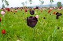 Tulips, Emmetts Garden, Ide Hill
