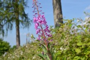 Rose bay willow