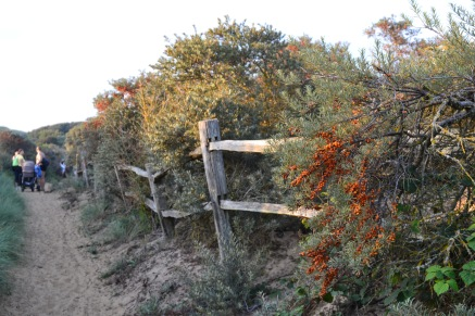 Sea buckthorn, Camber