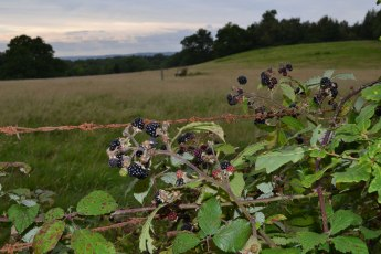 Early evening blackberries Hever