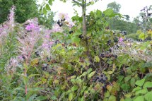 Blackberries and rosebay willow