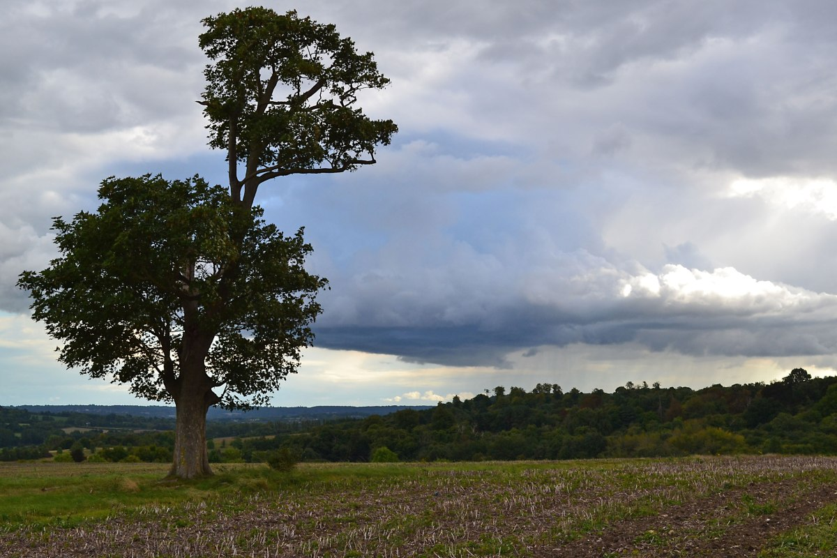 Lonely plane or sycamore tree high up on Eynsford walk