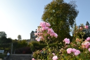 Late flowering rose at Emmetts Garden