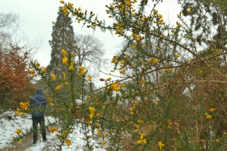 Wellingtonia and gorse, Chartwell