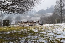 Deer in the thaw at Knole. March 2018