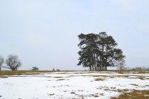 Knole pine clump