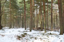 Pines in snow at Knole
