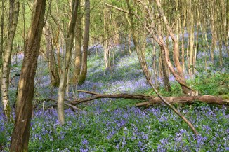 web-bluebells-ide-hill-2018-04-22-16.30.46