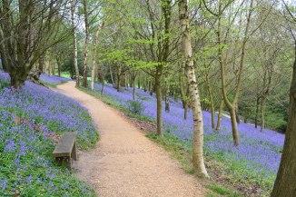 Scord wood bluebells, Emmett Gardens