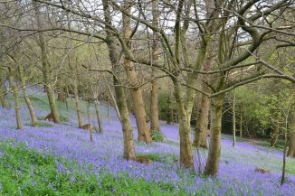 Scord wood bluebells
