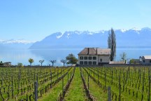 Vineyards, Epesses. The south-facing slopes along Lake Geneva between Lausanne and Vevey-Montreux are lined with ancient vineyards set on terraces that date from Roman times. They produce mostly white wine from the chasselas grape. Pictured is a vineyard at Epesses near the larger village of Cully.