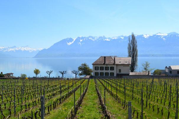 Vineyards Switzerland, April
