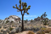Joshua trees are extraordinary. Members of the yucca family they are pollinated by various sub species of yucca moth in different parts of the desert. Like the pinyon pines they are threatened by climate change.