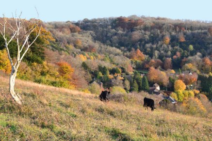 web-660-2018-11-08-16.32.18-cattle-fackenden-autumn