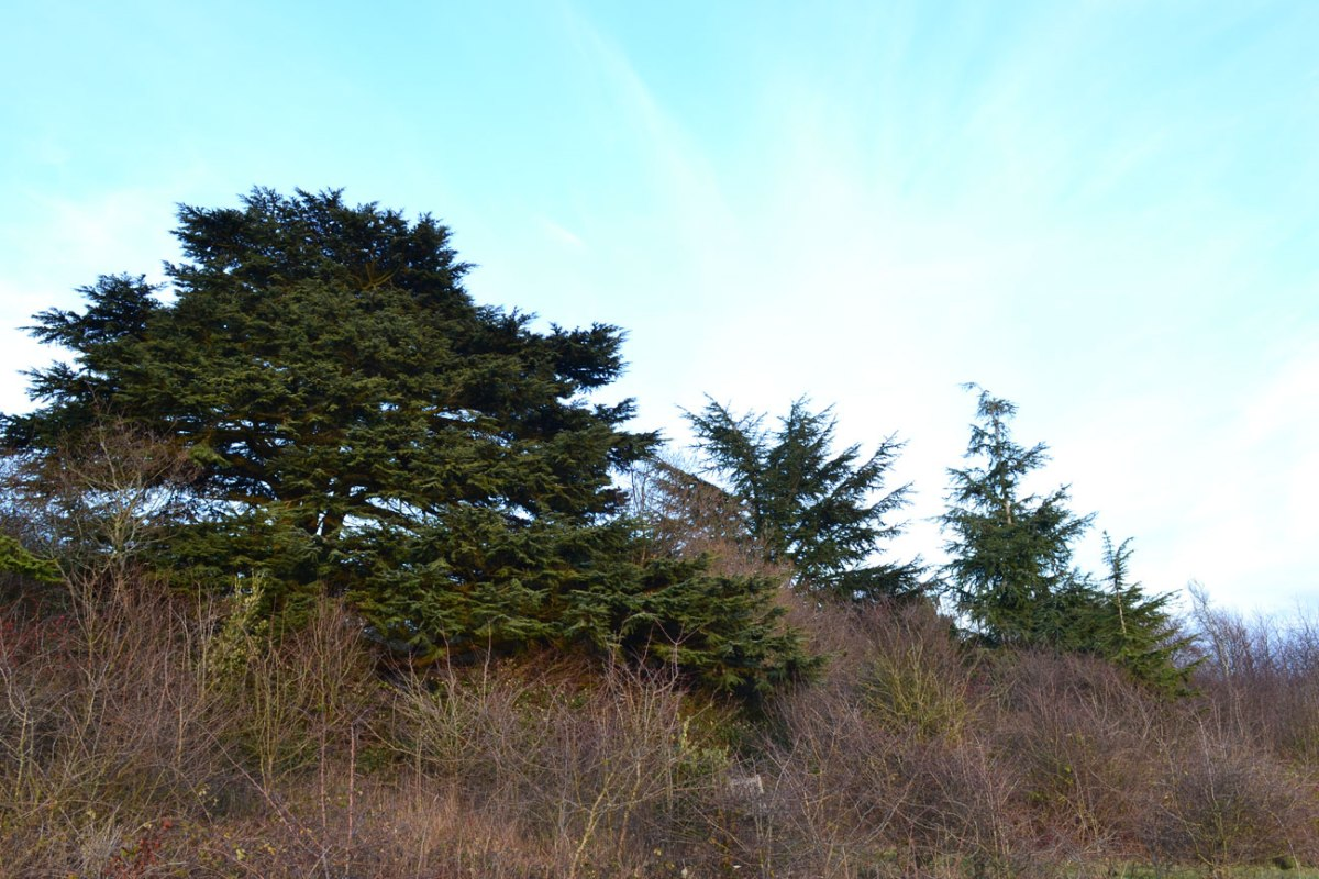 Evergreens at Lullingstone, December 27