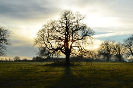 Oak tree silhouette, Lullingstone, winter