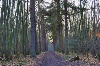 Meenfield Wood pines