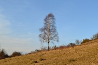 Lone birch, Fackenden Down, winter