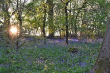 Bluebells after point 3