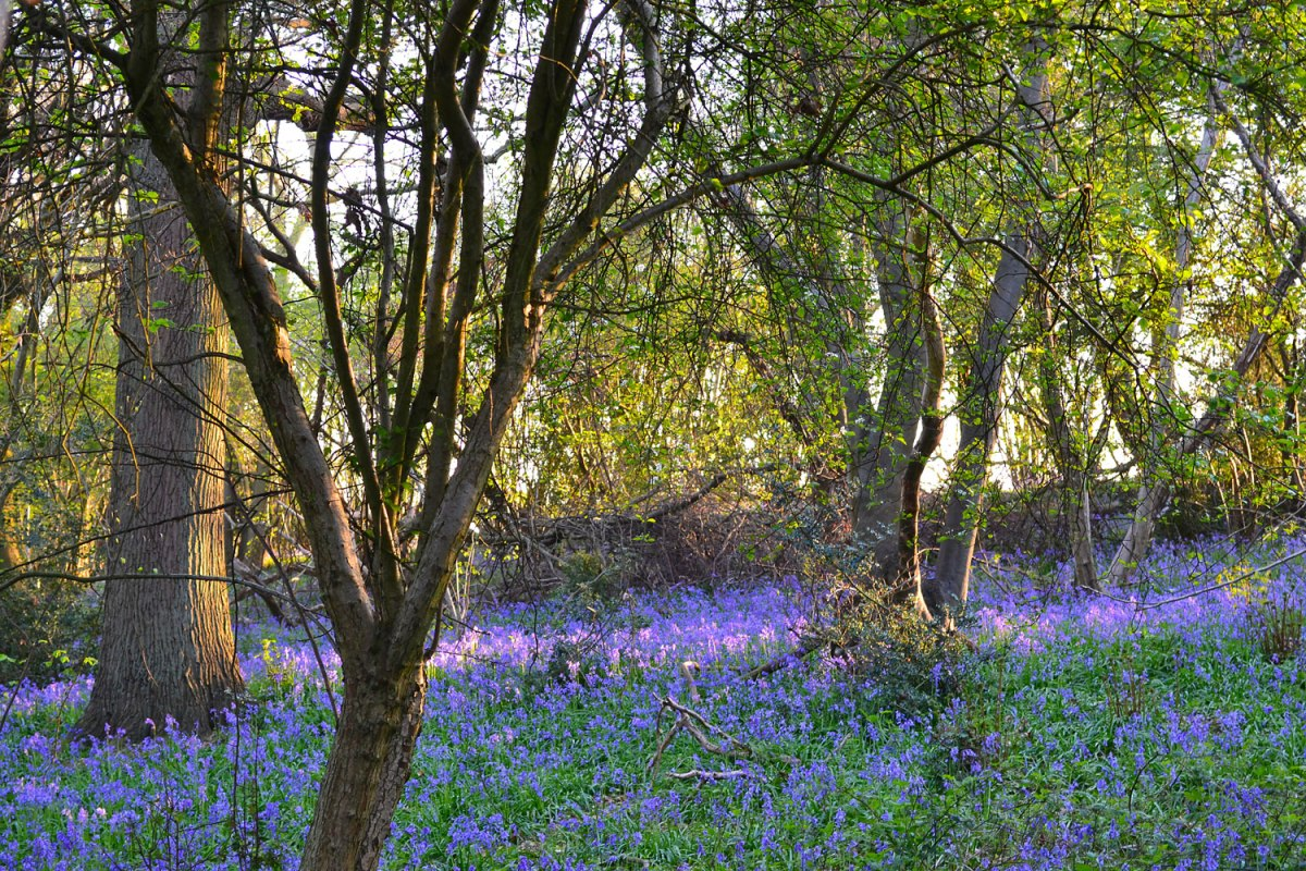 Peak bluebells, Downe.