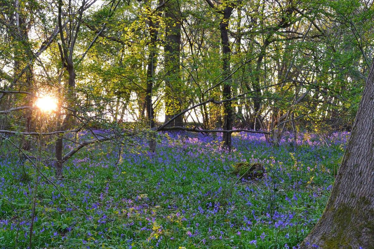 Bluebells at Downe, Kent