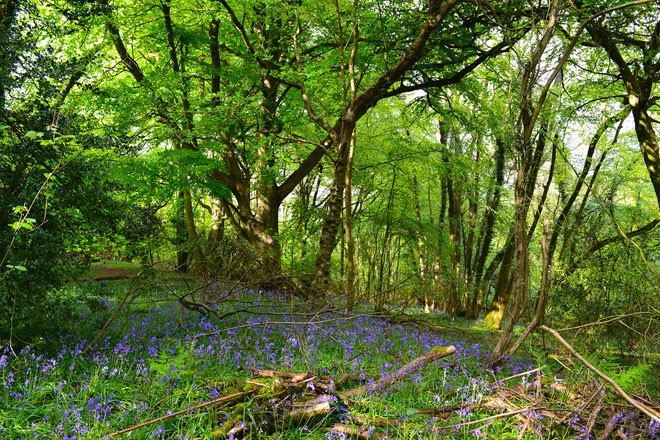 Last bluebells, Downe