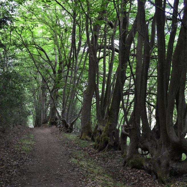 Fused beeches, nr point 4