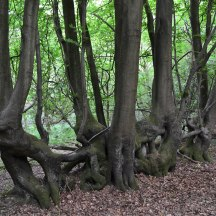 Fused beeches, point 4