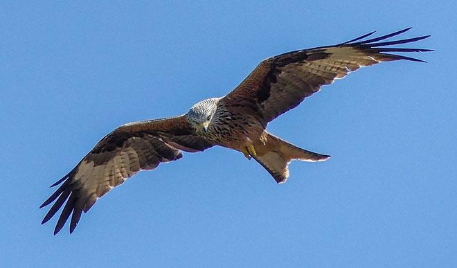 red-kite