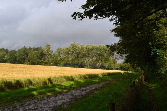 Wheat and storm clouds near Heaverham